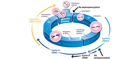 Cell cycle analysis with flow cytometry propidium iodide abcam print this protocol ccuart Gallery