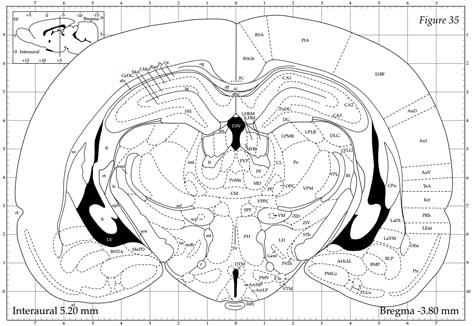 Rat brain anatomy