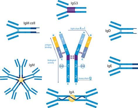 Immunology | Immune system| Immunity: Immunoglobulin D(IgD ...