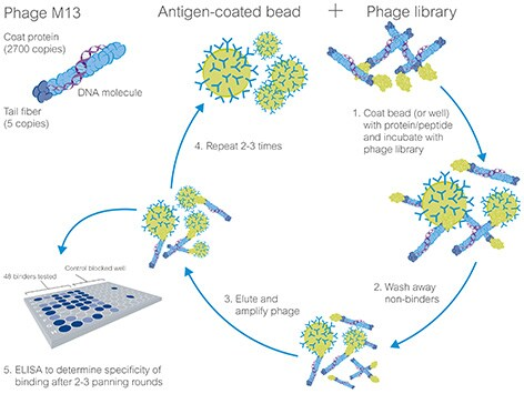 traditional monoclonal antibodies and recombinant antibodies Recombinant antibodies  they can deliver more reliable binding than traditional antibodies and can be easily produced in large volume over a shorter time period.