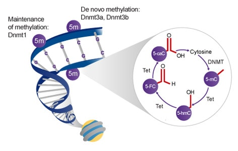 DNA methylation and demethylation