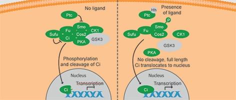 Role of GSK3 in Hedgehog signaling