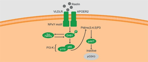 Role of GSK3 in Reelin signaling