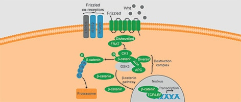 Role of GSK3 in Wnt signaling