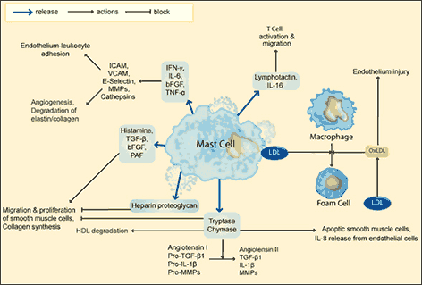 Mast cells and atherosclerosis | Abcam