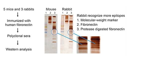 RabMAb vs mouse monoclonal comparison