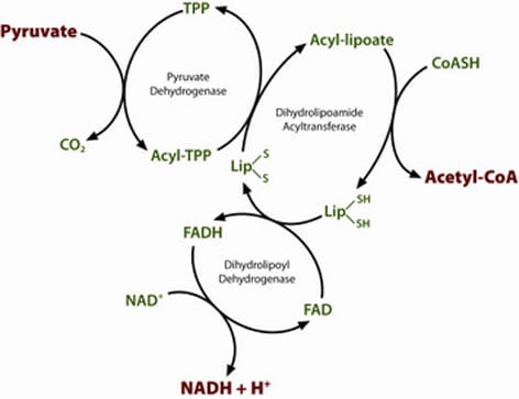 Diagram Of Cholesterol as well Pyruvate Dehydrogenase Pdh also Simple Carbohydrate Diagram besides Science dont fall victim to ketone envy ever furthermore 5124. on carbohydrate metabolism diagram
