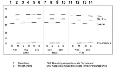 ab110415 apotrack cytochrome c apoptosis WB antibody cocktail