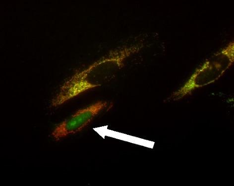 ab110417 apotrack cytochrome c apoptosis icc antibody cocktail
