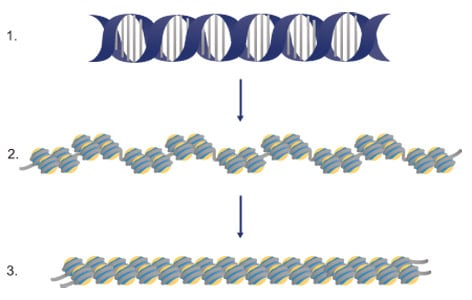 DNA wraps around the histone proteins to form nucleosomes
