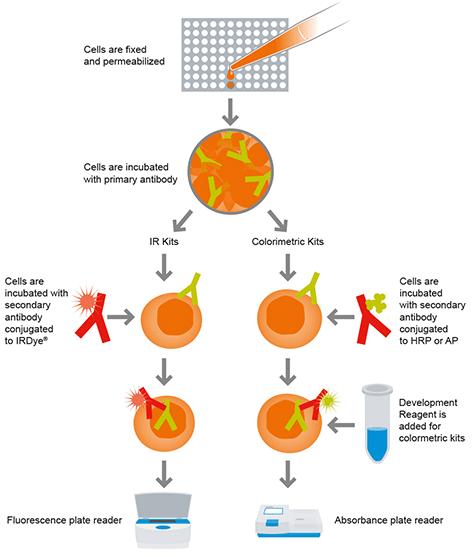In-Cell ELISA diagram