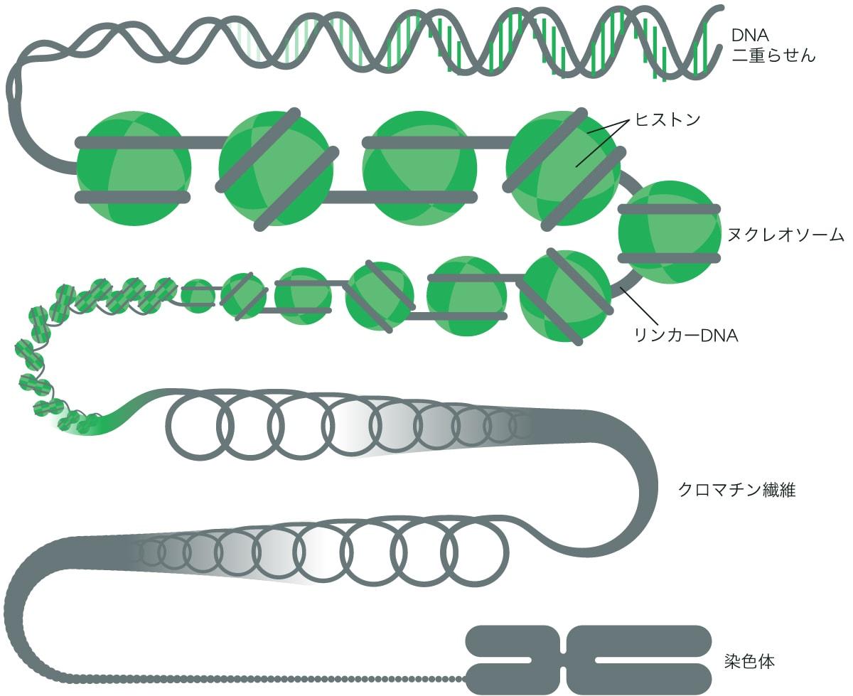 構造 クロマチン