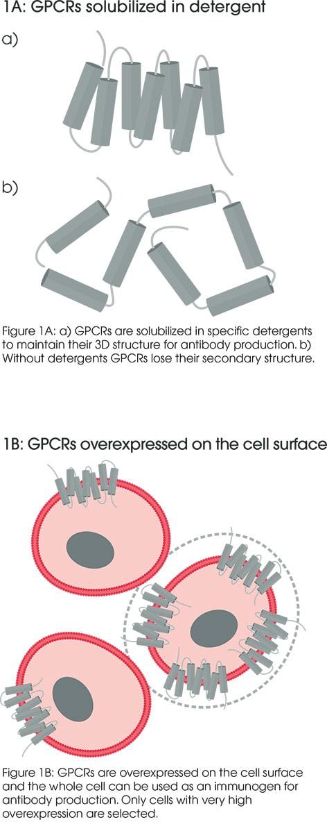 GPCR antibodies