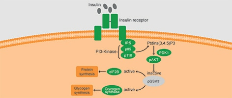 Role of GSK3 in Insulin signaling