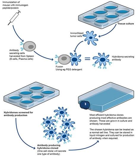 O Antibodies Antibody produc...