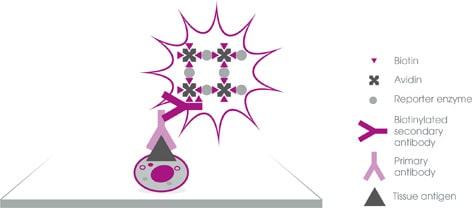 IHC guide v3 avidin biotin complex detection 472px