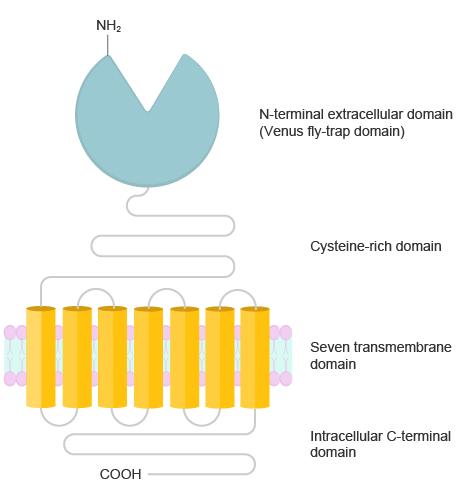 Metabotropic glutamate receptor
