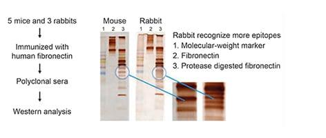 RabMAb vs mouse monoclonal comparison