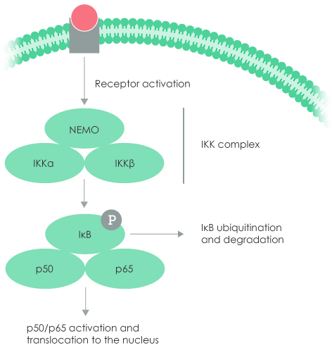 NF-kB canonical signaling pathway